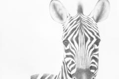 Plains Zebra #2