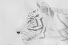 Sumatran Tiger #1